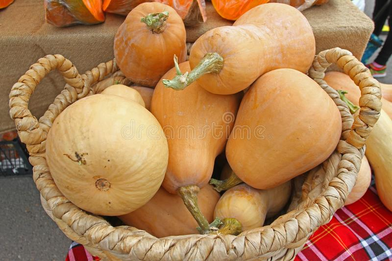 Organic Pumpkin for Halloween and Thanksgiving day holiday in knitted bashket. Pile of Fresh squash for Halloween background. Oran stock images