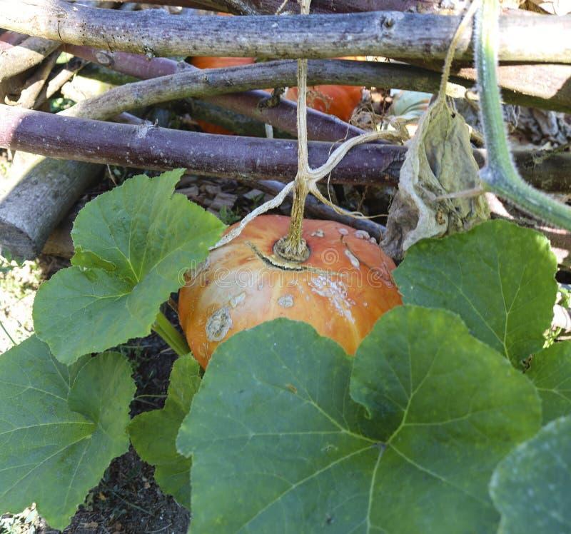Organic pumpkin stock photos
