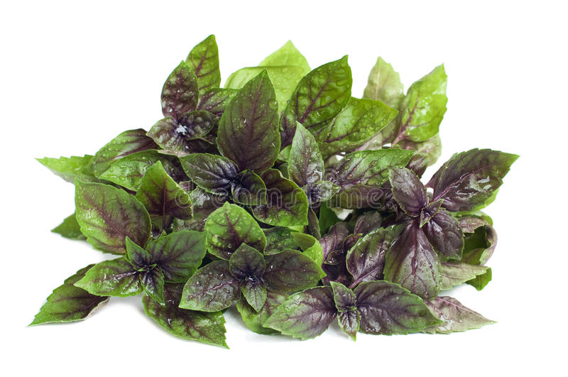 Organic purple basil. Bunch of fresh purple basil with water drops, on white stock photography