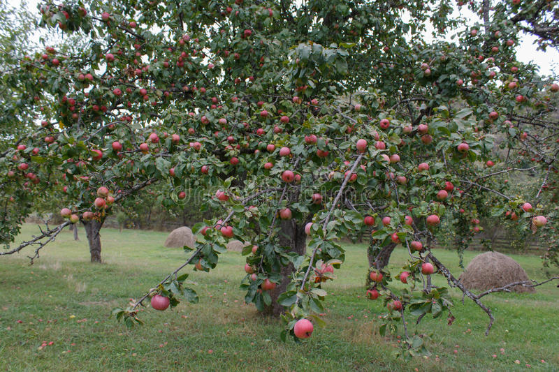 Organic Red apples ready to pick on tree branches. Apple orchard stock image