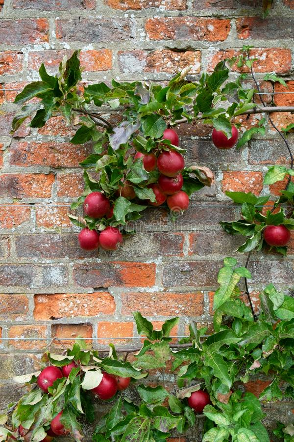 Organic red apples on a red brick wall royalty free stock photo