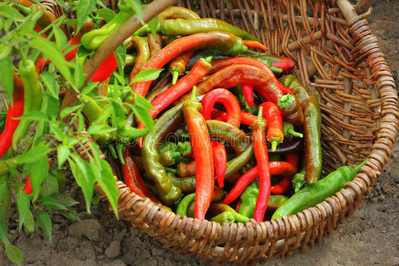 Organic red peppers pickling on a wicker basket in the garden royalty free stock images