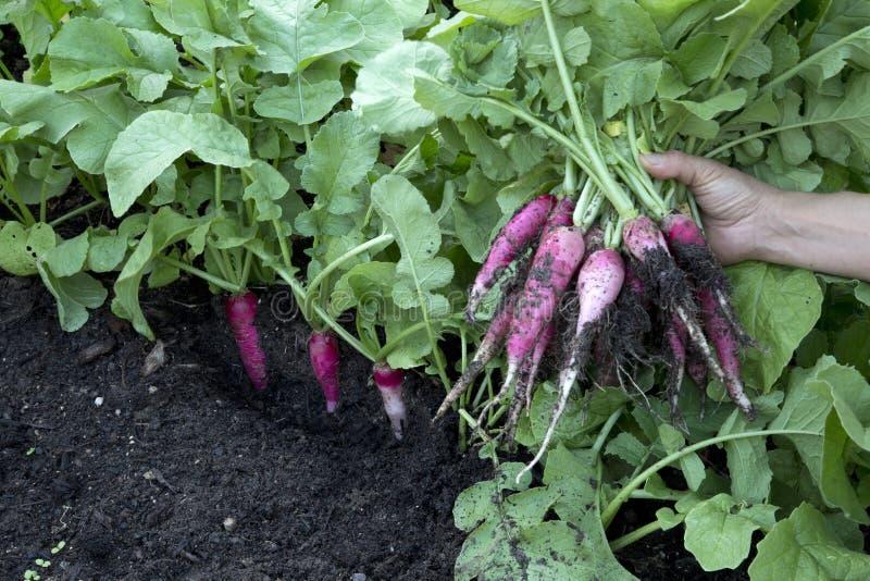 Organic red radish harvest in family vegetable garden stock image