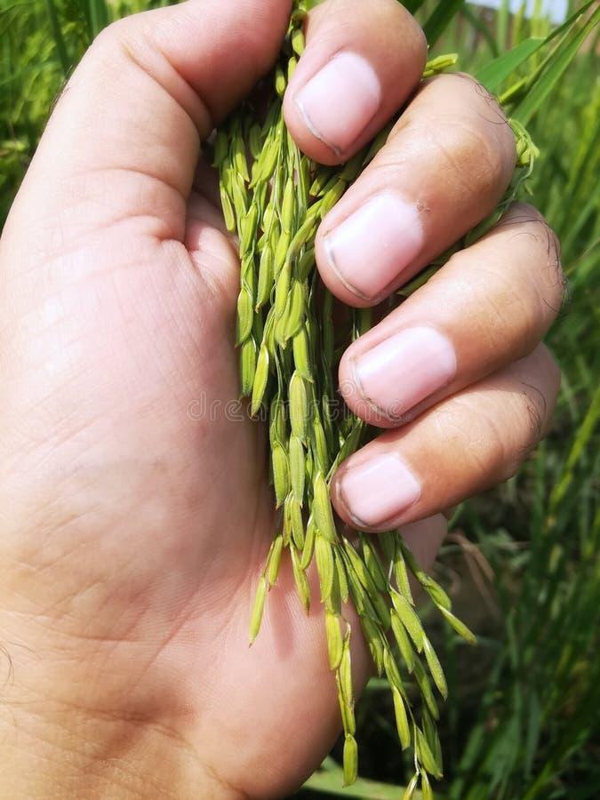 Organic Rice Paddy Rice in Beautiful Human Hand stock photos