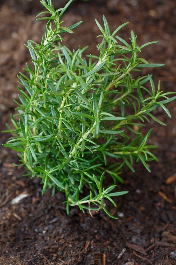 Free Organic Rosemary Herbal Plant In Organic Soil Stock Photos - 213600593