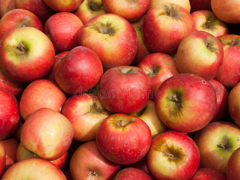 Organic Sundowner Apples royalty free stock photos