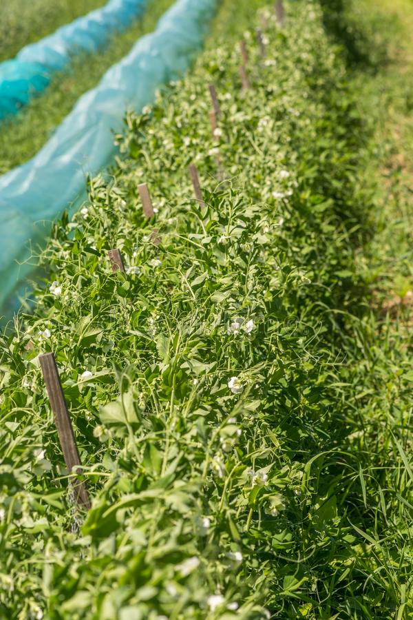 Organic Sweet Peas Bushes Growing Under the Sun. In Ste-Anne-des-Plaines, Quebec, Canada stock photo