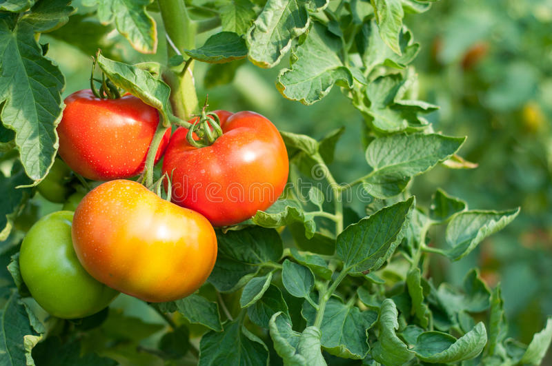 Organic tomato plant. Polish red organic tomato plant and fruit in the evening light royalty free stock photo