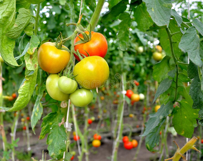 Download Organic Tomatoes stock photo. Image of grow, agricultural - 83716572