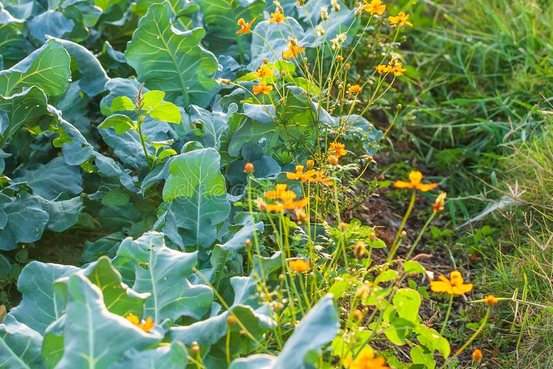 Organic vegetable cultivation farm. Fresh Chinese Kale with Sulfur Cosmos at sun setting, Sulfur Cosmos are preventing the spread. Of Pest insects. Warm tone stock photo