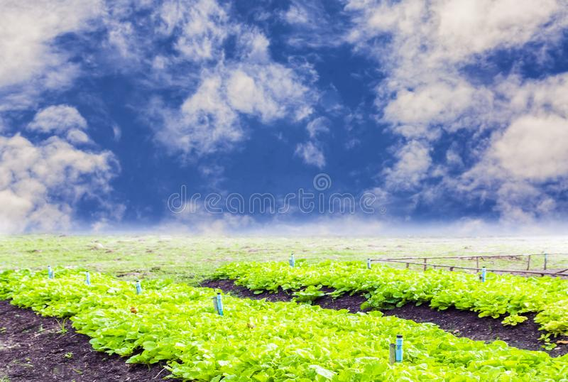 Organic vegetable farm Non-toxic outdoor in bright blue sky. And sky background, concept food security and trading and investment royalty free stock photography