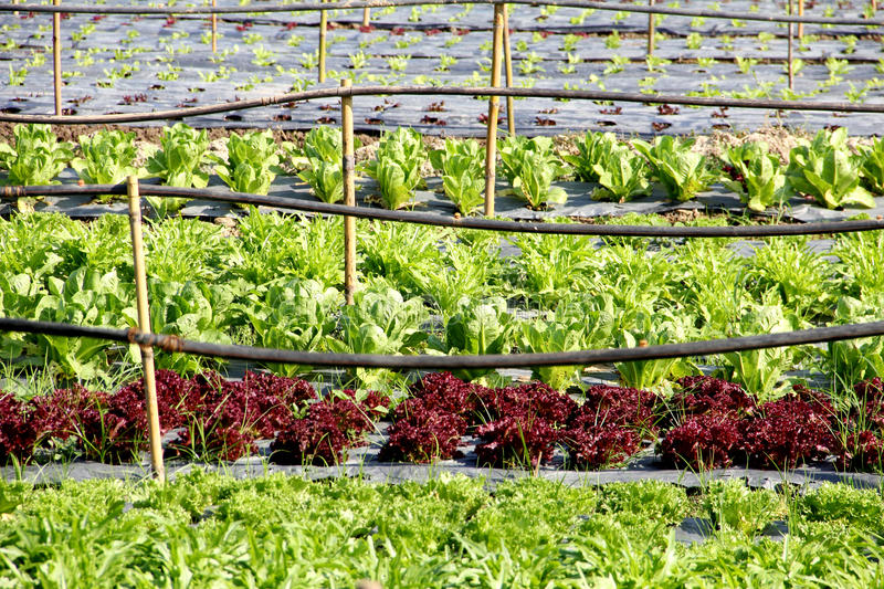 Organic vegetable farm. And pipe water royalty free stock photo