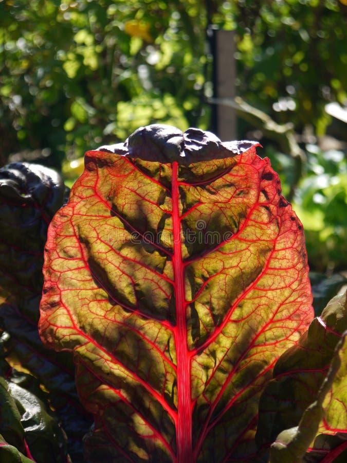 Organic vegetable garden: sunlit red chard leaf close stock image