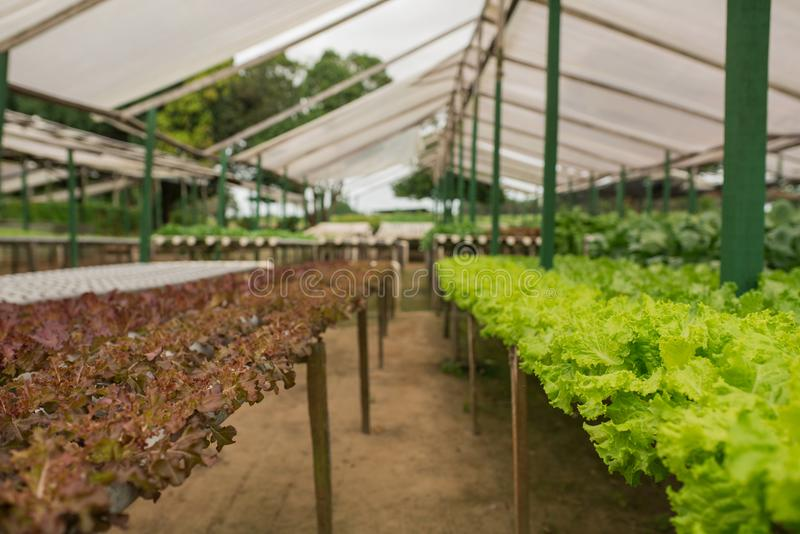 Organic vegetable gardening in the greenhouse stock images