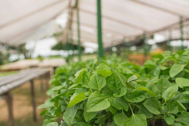 Organic vegetable gardening in the greenhouse royalty free stock photography