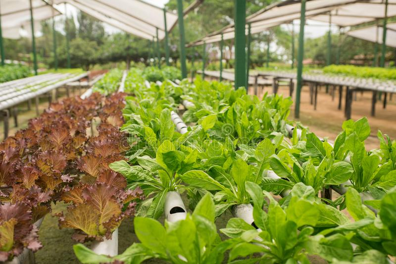 Organic vegetable gardening in the greenhouse stock image