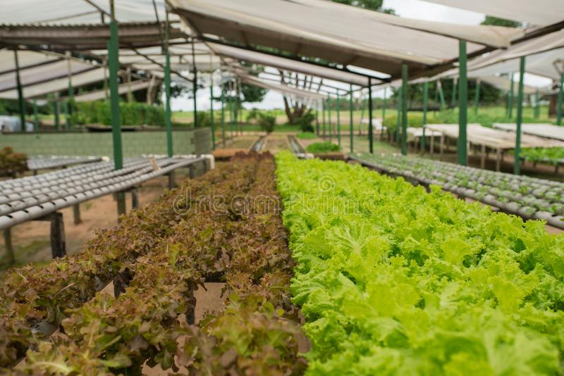 Organic vegetable gardening in the greenhouse royalty free stock image