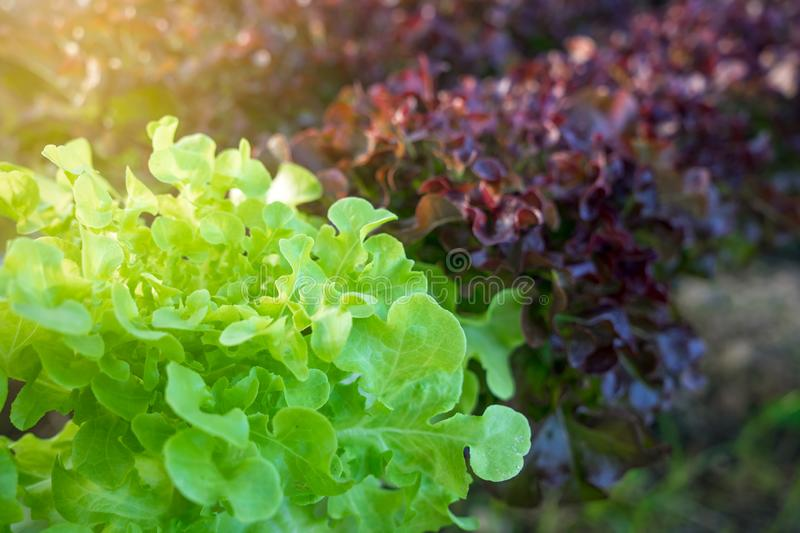 Organic vegetable growing plots and hydroponic vegetables. Object for diet concept stock image
