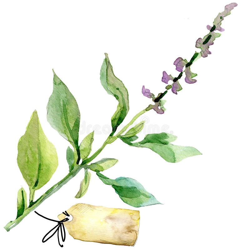 Organic vegetable oregano . watercolor illustration stock illustration