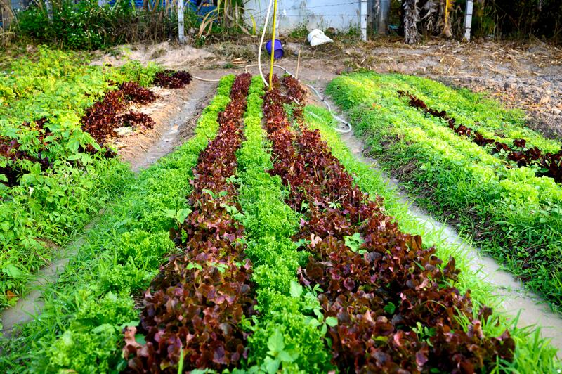 Organic vegetable salad farm. In the north of Thailand stock images