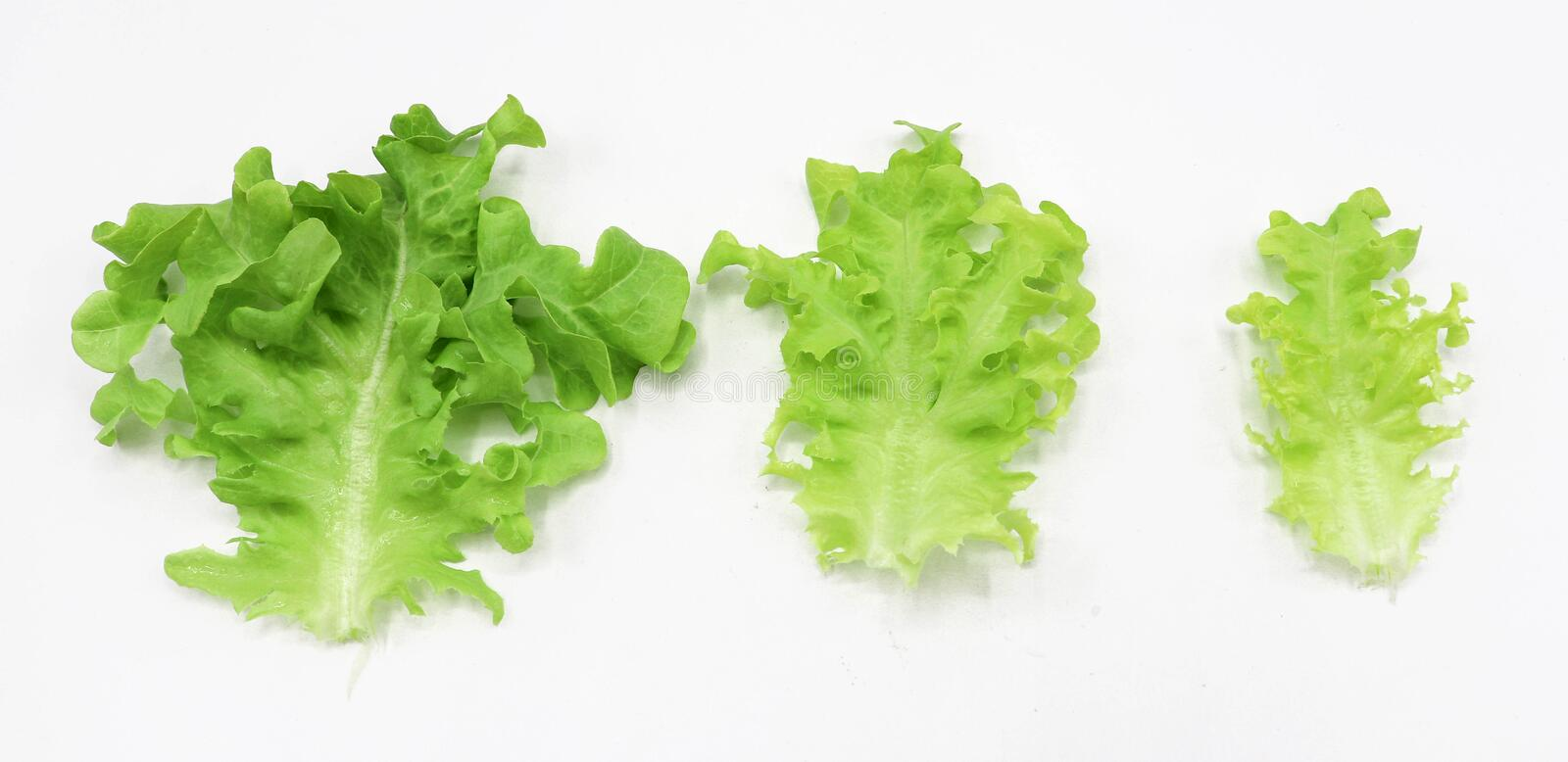 Organic Vegetable for salad green frillice iceberg lettuce isolated on white background royalty free stock photography