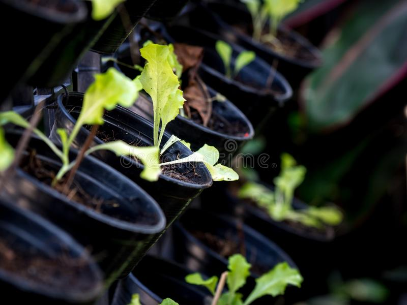Organic vegetables grown on the edge of the house.Self-made vegetables ensure no toxins.I grow vegetables and eat.  stock images