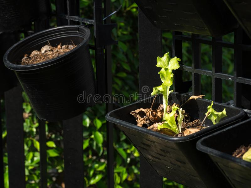 Organic vegetables grown on the edge of the house.Self-made vegetables ensure no toxins.I grow vegetables and eat.  stock photography