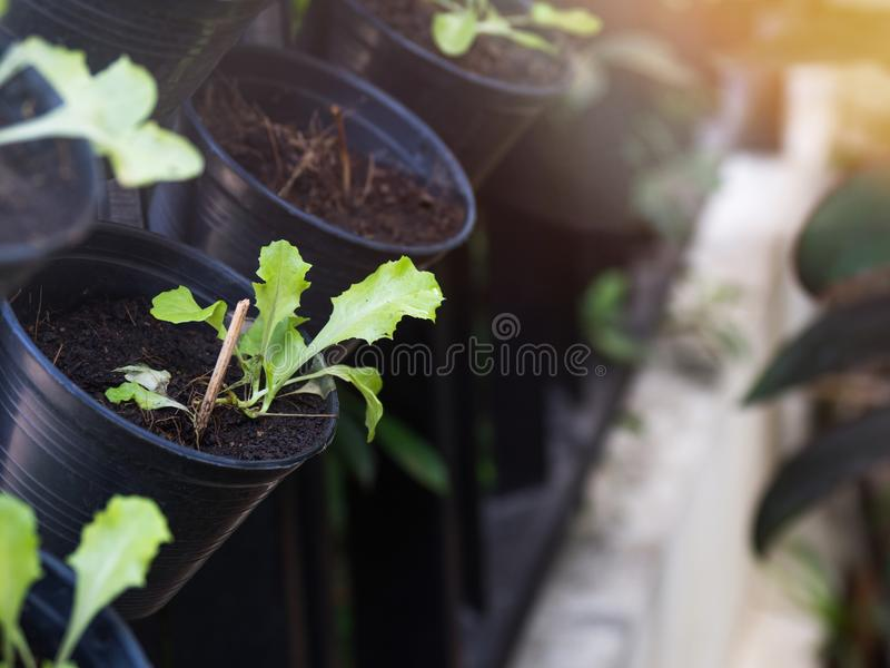 Organic vegetables grown on the edge of the house.Self-made vegetables ensure no toxins.I grow vegetables and eat.  royalty free stock photo