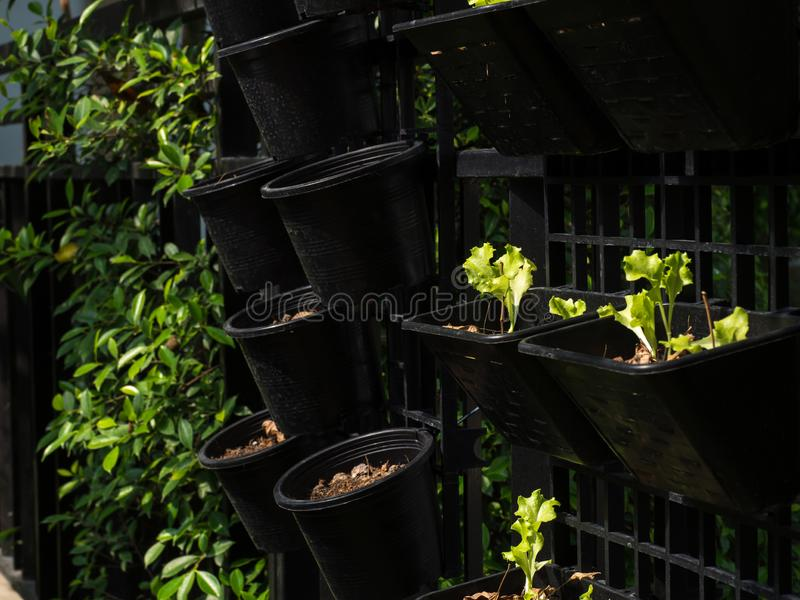 Organic vegetables grown on the edge of the house.Self-made vegetables ensure no toxins.I grow vegetables and eat.  stock photo