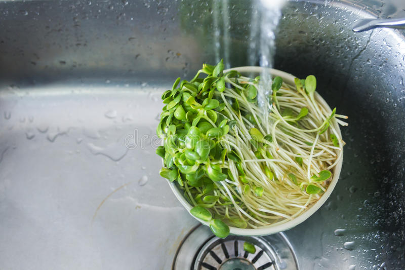 Organic veggie. Washing organic veggie sun flower sprouts stock photo