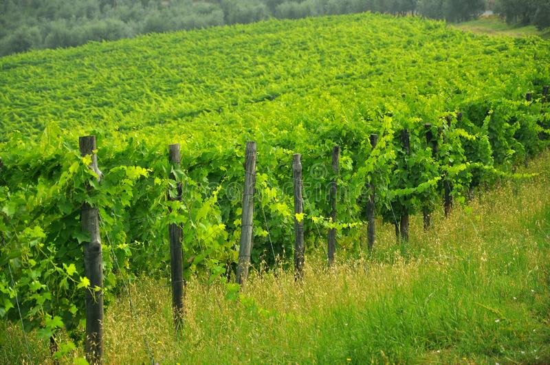 Organic vineyards in Tuscany, Italy stock photos