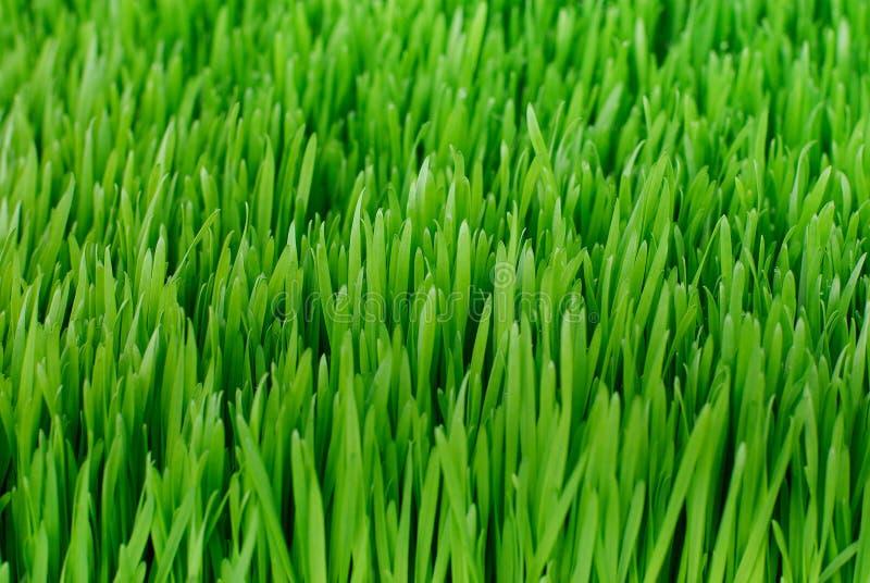 Organic Wheatgrass. At a Farmer's Market stock photo