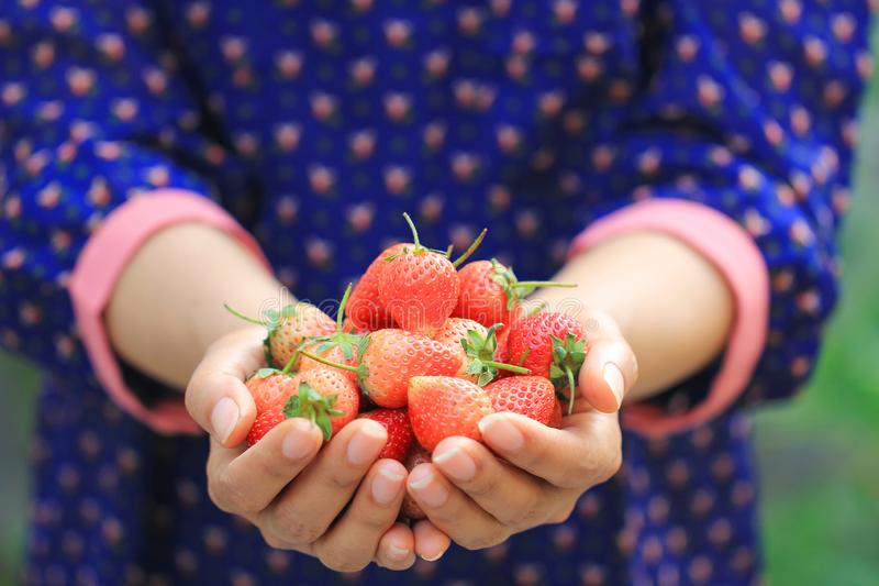 Organic, Woman hands holding fresh strawberries natural green background stock photography