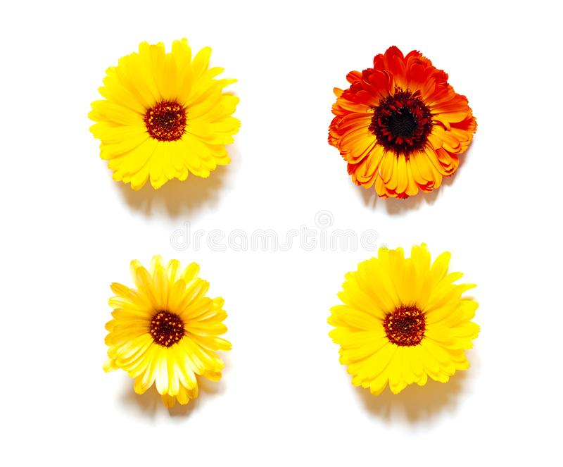 Organic yellow calendula flowers flat lay on the bright sunny background. Top view stock images