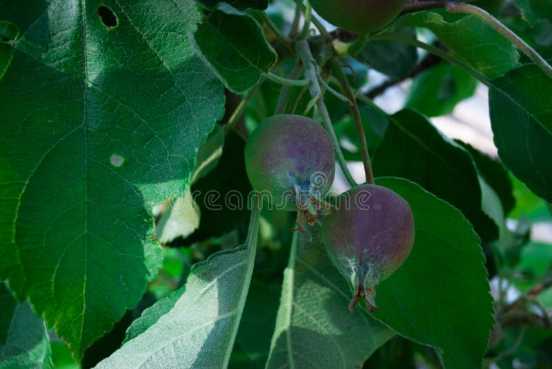 Organic young apples hanging from a tree branch in an apple orchard royalty free stock photo