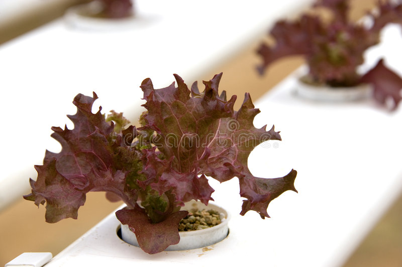 Organically Farmed Red Coral Lettuce. Image of organically farmed red coral lettuce in Malaysia royalty free stock images