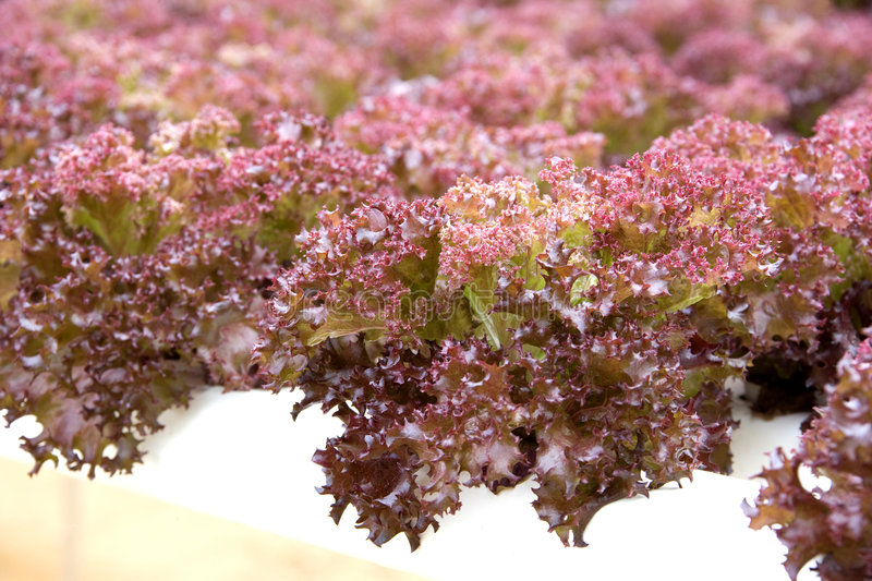 Organically Farmed Red Coral Lettuce. Image of organically farmed red coral lettuce in Malaysia royalty free stock photo