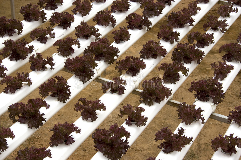 Organically Farmed Red Coral Lettuce. Image of organically farmed red coral lettuce in Malaysia royalty free stock image