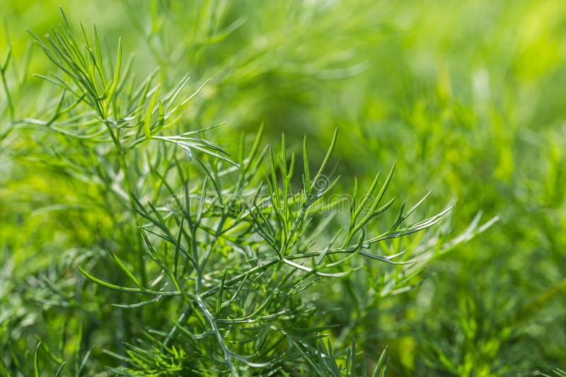 Image with dill. Organically grown dill in the soil. Organic farming in rural royalty free stock image