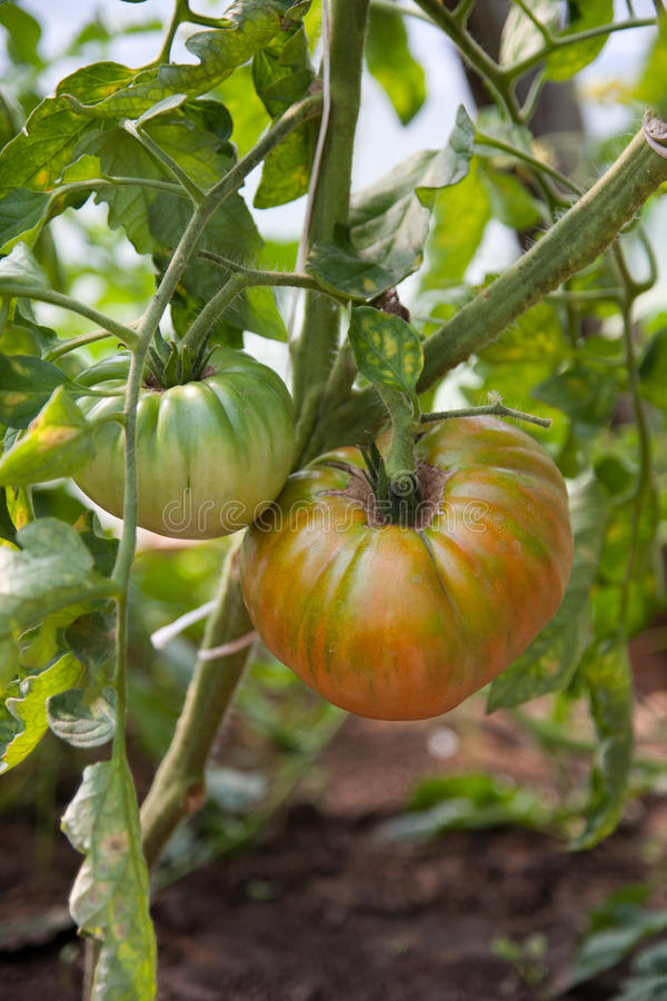 Free Organically Grown Tomatoes Stock Photos - 15542753