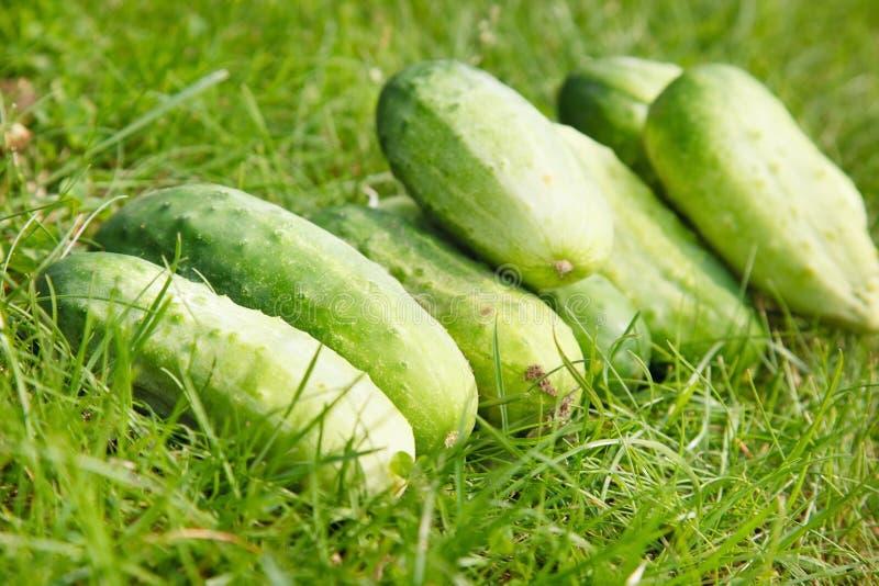 organico fresco dei cetrioli appena selezionato fotografie stock libere da diritti