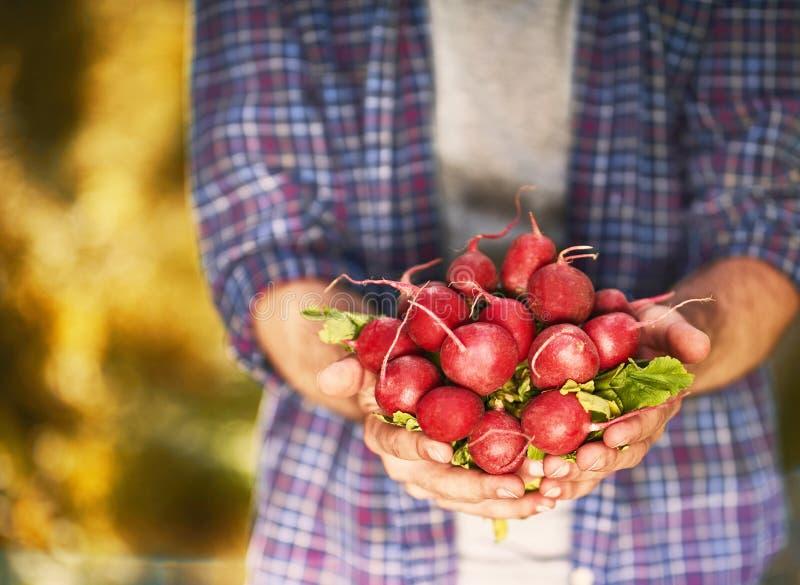 organiczne warzywa Rolnik ręki z świeżo zbierającym vegetab fotografia royalty free