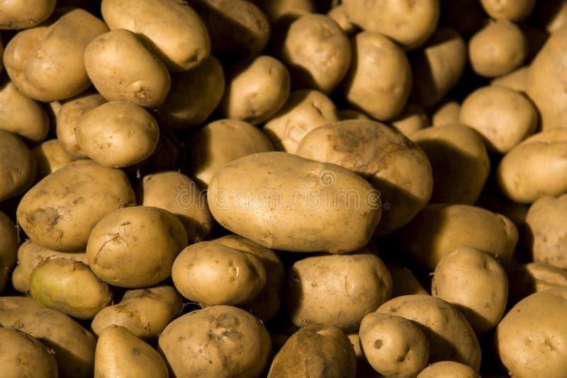 organiczne zbiorów ziemniaków zdjęcie stock