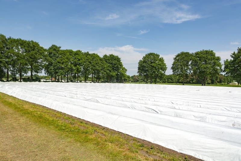 Organicznie asparagusa gospodarstwo rolne, widok na zakrywających rzędach z białymi szparagowymi roślinami i obraz royalty free