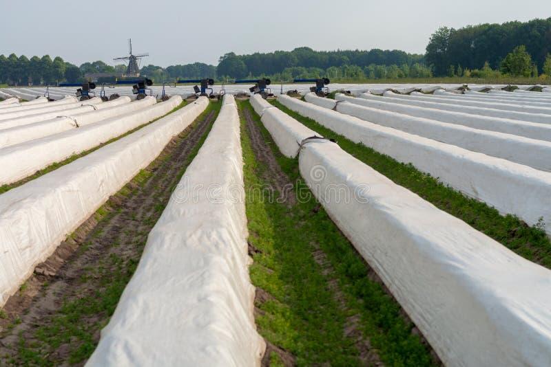 Organicznie asparagusa gospodarstwo rolne, widok na zakrywaj?cych rz?dach z bia?ymi szparagowymi ro?linami i obraz royalty free