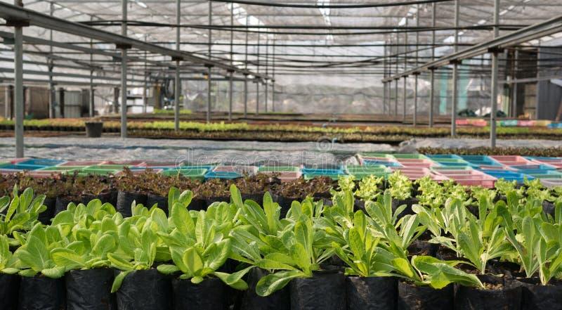 Organicznie Cos sałaty dorośnięcie w szklarni z innymi jarzynowymi roślinami zdjęcia stock