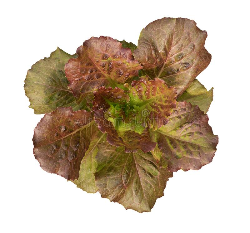 Organicznie czerwona Cos sałata moonred hydroponic jarzynowej rośliny odgórnego widok odizolowywającego na białym tle, ścieżka obrazy royalty free