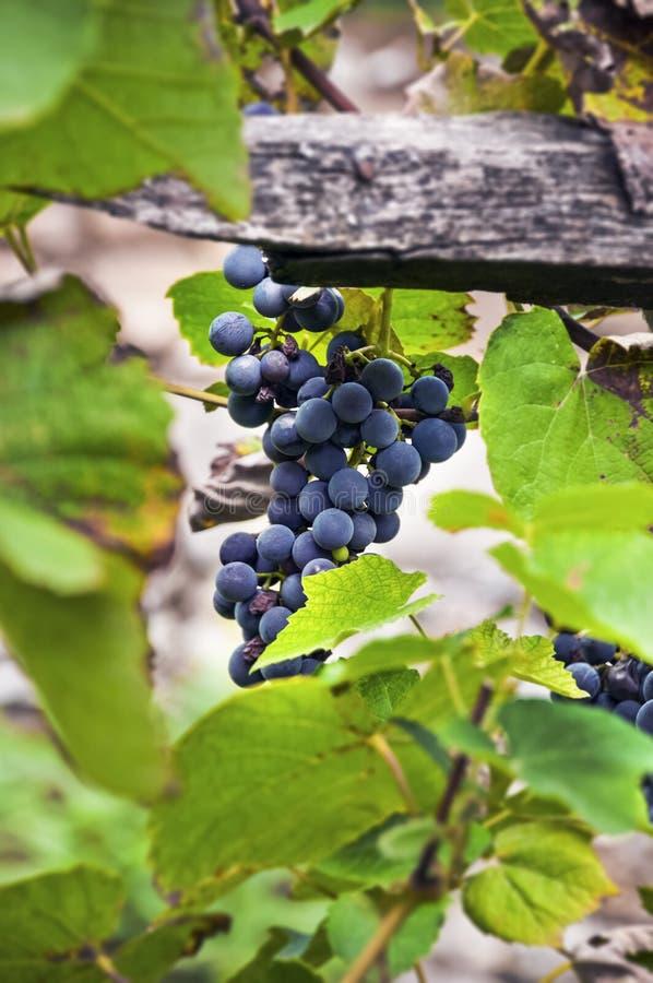 Organicznie czerwoni amerykańscy rozmaitość winogrona na winogradzie obraz stock