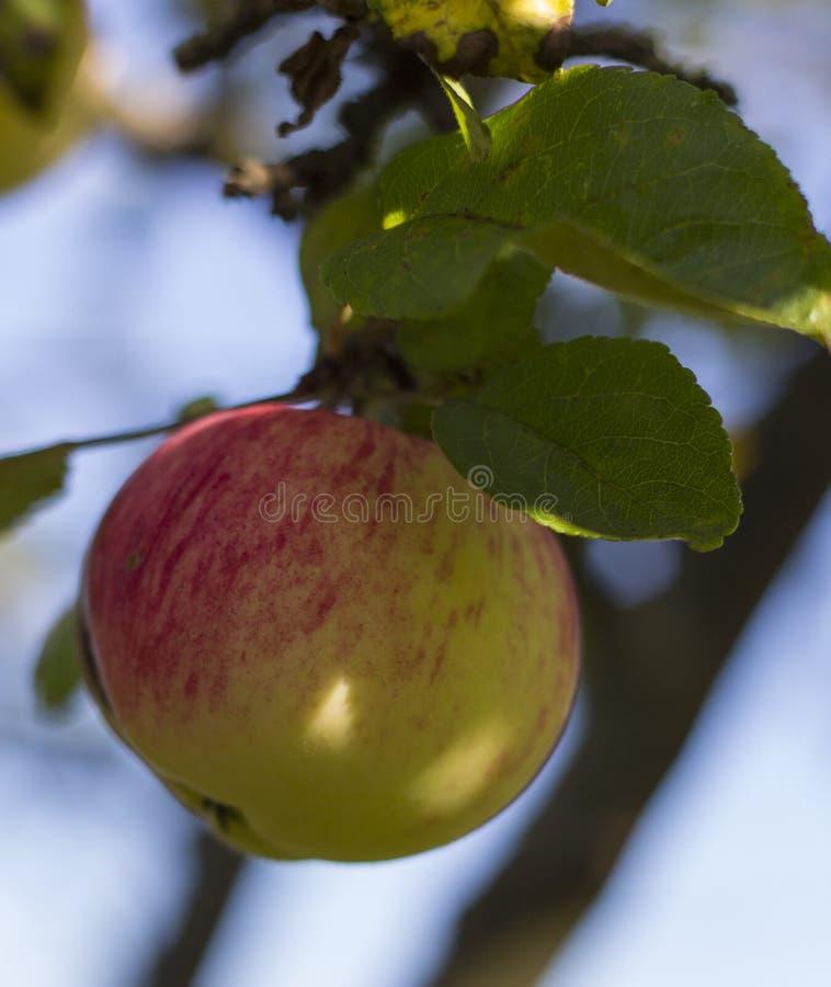 Organicznie czerwony jabłko na gałąź, owoc na sadzie przygotowywającym dla podnosić obrazy stock