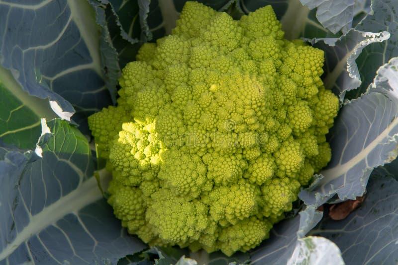 Organicznie dojrzali zieleni Romanesco brokuły lub Romański kalafior, Broc obrazy royalty free
